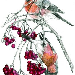 Bullfinches and Red Berries by Hannah Longmuir