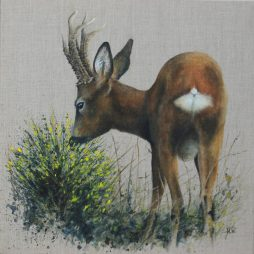Roe Buck eating Broom by Helen Welsh