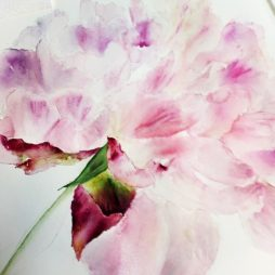 Faded Pink Peony by Clare Robinson
