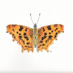 Comma Butterfly by Anna Dorward