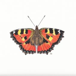 Small Tortoiseshell Butterfly by Anna Dorward