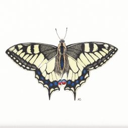 Swallowtail Butterfly by Anna Dorward