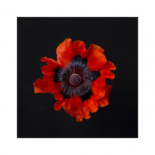 Colin Mclean - Single red poppy from above
