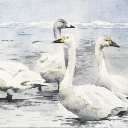 Whooper Swans by Colin Henderson